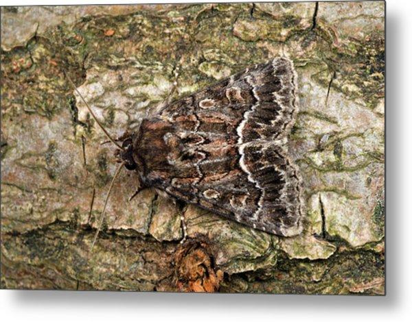 Straw Underwing Moth Metal Print by Nigel Downer