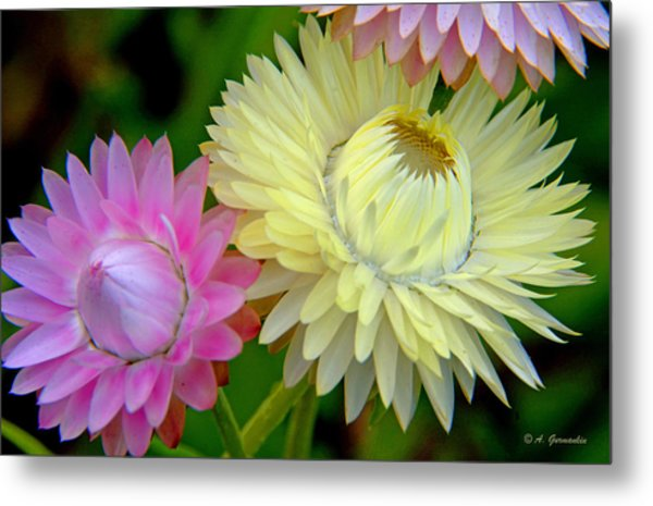 Strawflower Blossoms Metal Print