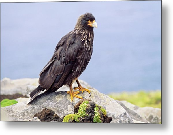 Striated Caracara Or Johnny Rook Metal Print
