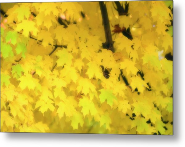 Sugar Maple (acer Saccharum) Metal Print by Maria Mosolova/science Photo Library