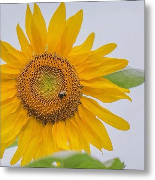 Sunflowers! See Full Gallery: Metal Print