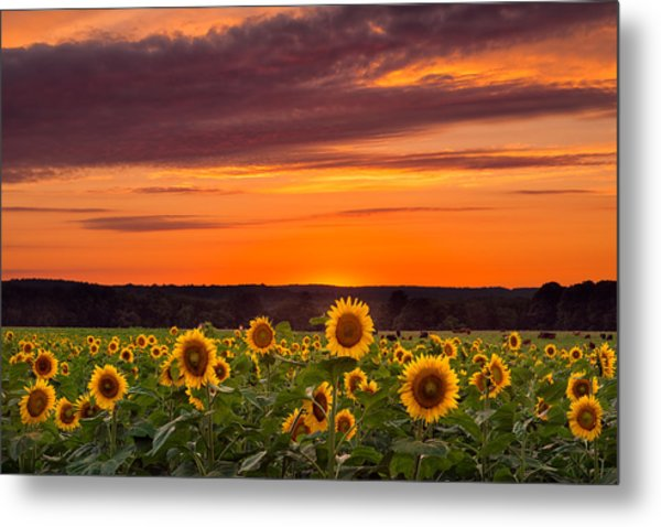 Sunset Over Sunflowers Metal Print