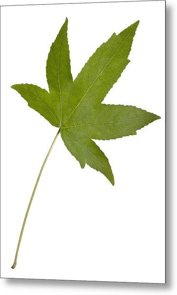 Sweet Gum (liquidambar Styraciflua) Leaf Metal Print by Science Photo Library