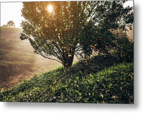 Tea Plantation In India Metal Print by Oleh slobodeniuk