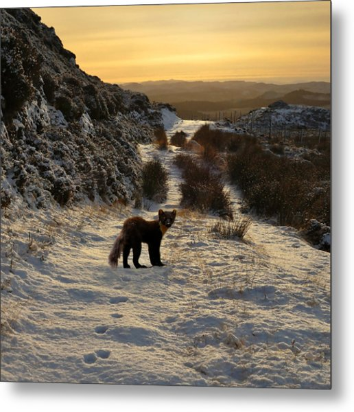 The Pine Marten's Path Metal Print