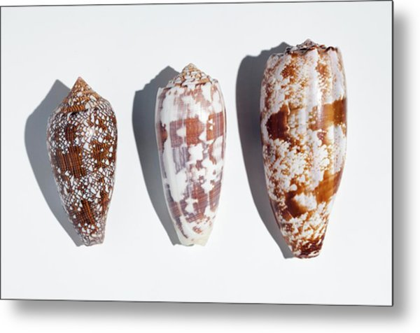 Three Conus Cone Shells That Can Kill Man Metal Print by Paul D Stewart