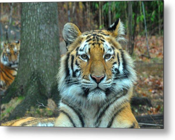 Tiger Bronx Zoo Metal Print