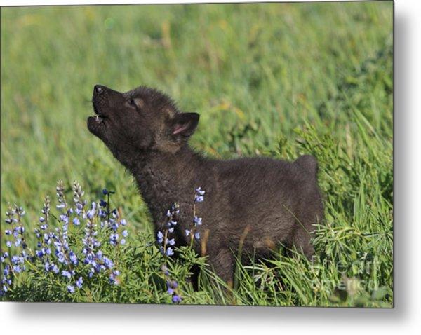 Timber Wolf Cub, Canis Lupus Metal Print