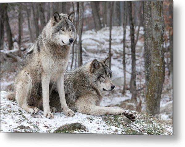 Timber Wolf Pair In Forest Metal Print