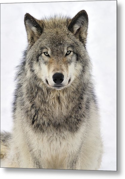 Timber Wolf Portrait Metal Print