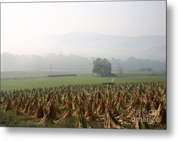 Tobacco In The Field Metal Print