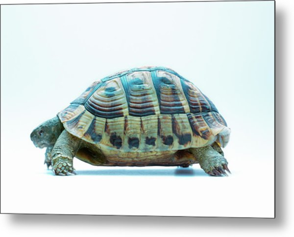 Tortoise Metal Print by Gustoimages/science Photo Library