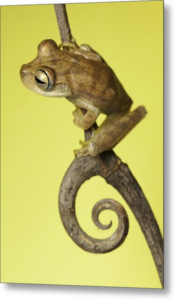 Tree Frog On Twig In Background Copyspace Metal Print