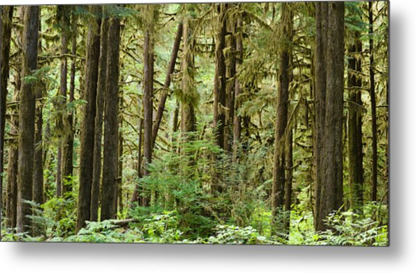 Trees In A Forest, Quinault Rainforest Metal Print