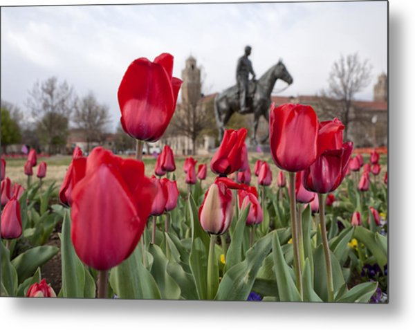 Tulips At Texas Tech University Metal Print