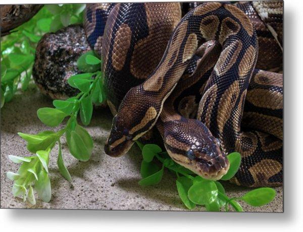 Two Burmese Pythons Python Bivittatus Metal Print