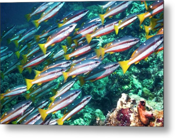Two-spot Banded Snappers Metal Print by Georgette Douwma