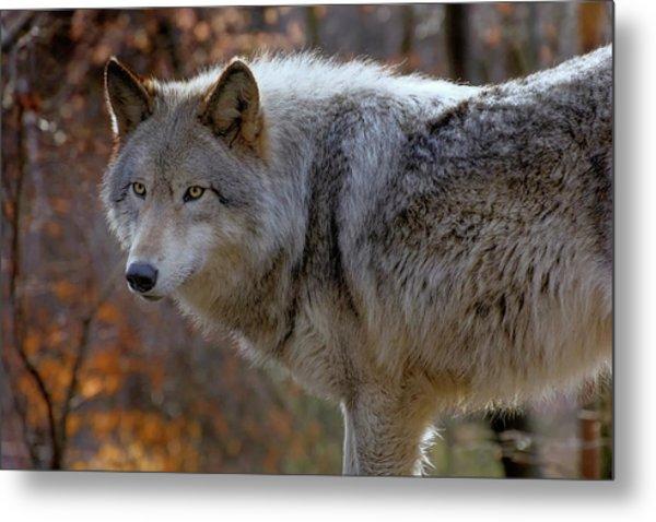 Usa, New Jersey, Columbia, Lakota Wolf Metal Print