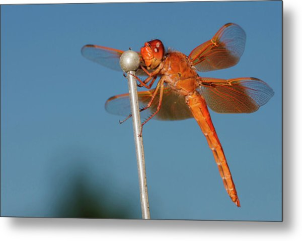 Usa, Oregon, Keizer, Male Flame Skimmer Metal Print