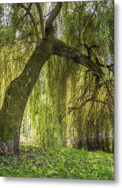 Weeping Willow Metal Print by Thomas Schreiter