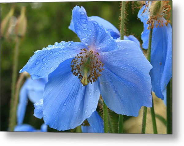 Wild Blue Poppy Metal Print