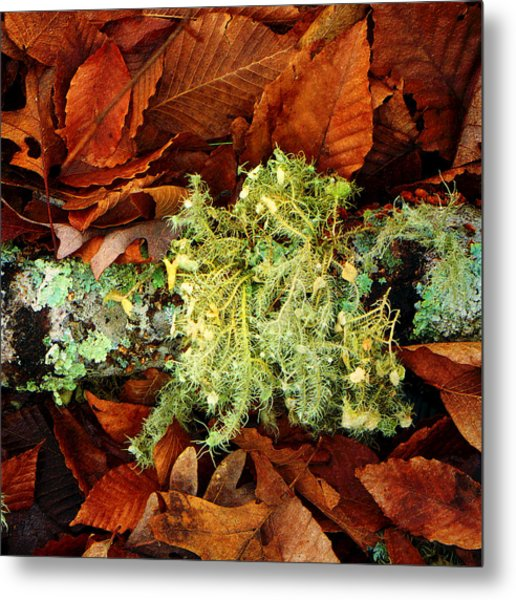 Wolf Moss Lichen Metal Print by Frank Winters