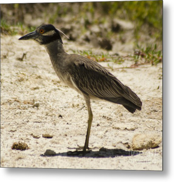 Yellow-crowned Night-heron Metal Print
