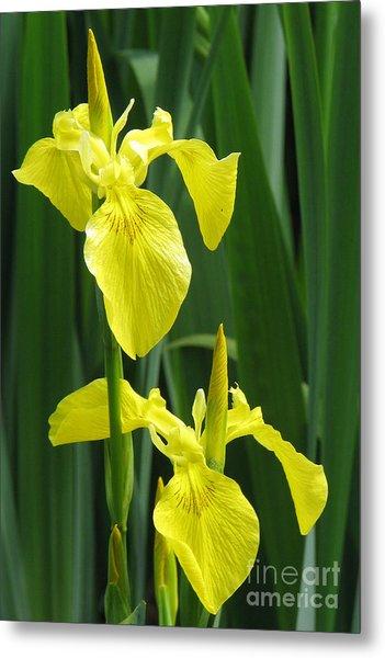 Yellow Iris Metal Print by Frank Townsley