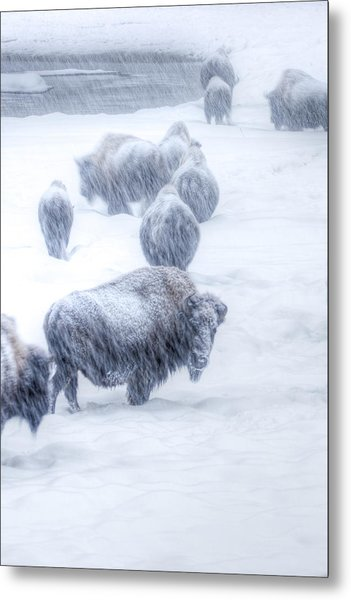 Yellowstone Bison Metal Print by David Yack