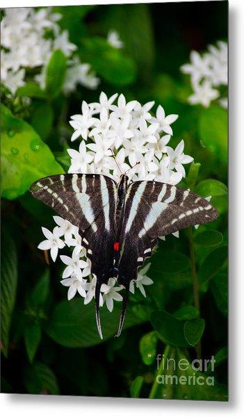 Zebra Swallowtail Metal Print