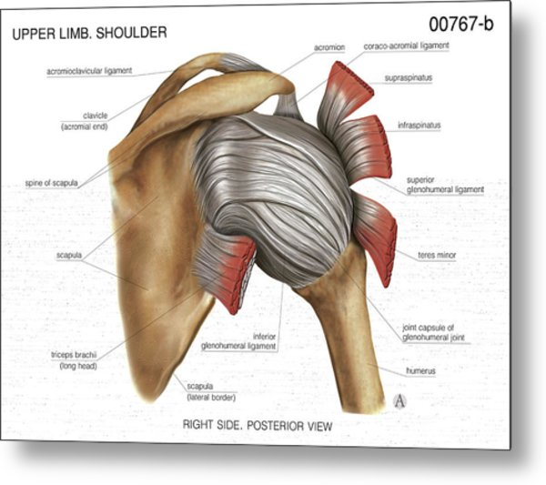Shoulder Joint Photograph by Asklepios Medical Atlas
