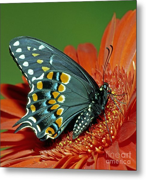 Eastern Black Swallowtail Metal Print