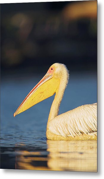 Great White Pelican Pelecanus Photograph By Martin Zwick