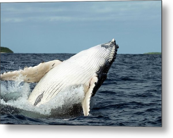 Humpback Whale Metal Print by Christopher Swann/science Photo Library