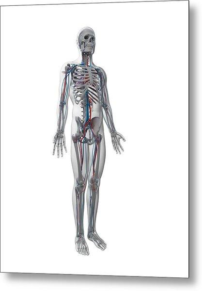 Human Vascular System Metal Print by Sebastian Kaulitzki