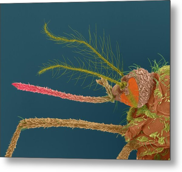 Female Asian Tiger Mosquito Metal Print by Dennis Kunkel Microscopy/science Photo Library