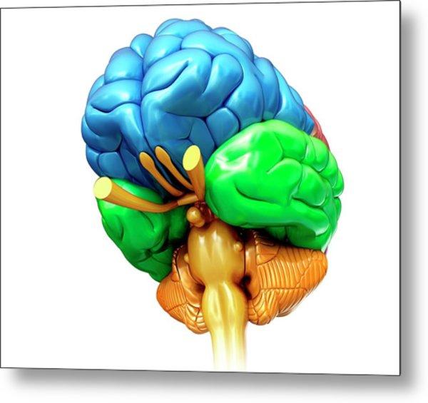 Human Brain Regions Metal Print by Pixologicstudio/science Photo Library