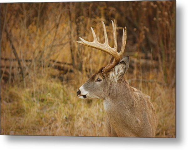 12 Point White-tail Metal Print