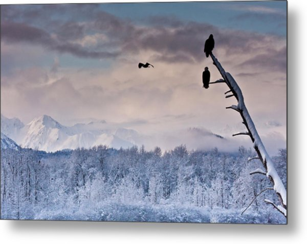Usa, Alaska, Chilkat Bald Eagle Preserve Metal Print