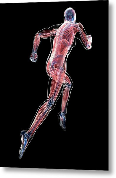 Male Musculature Metal Print by Sciepro/science Photo Library