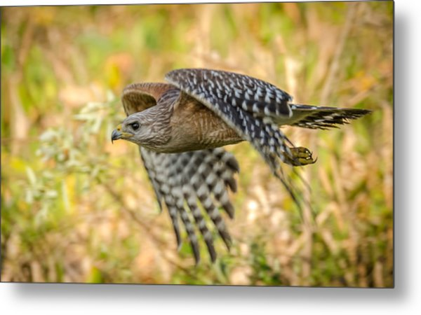 Red Shouldered Hawk Metal Print