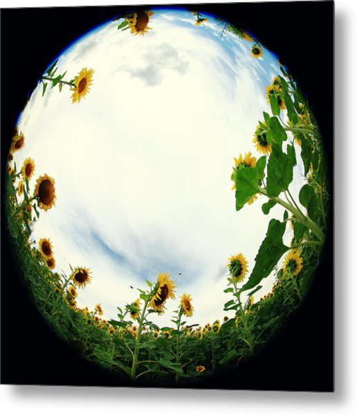 Sunflowers Metal Print by Falko Follert