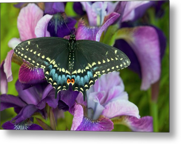 Black Swallowtail Butterfly, Papilio Metal Print by Darrell Gulin