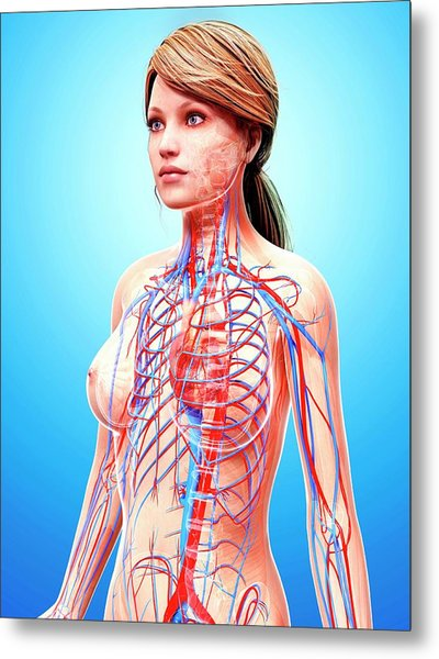 Female Cardiovascular System Metal Print by Pixologicstudio/science Photo Library