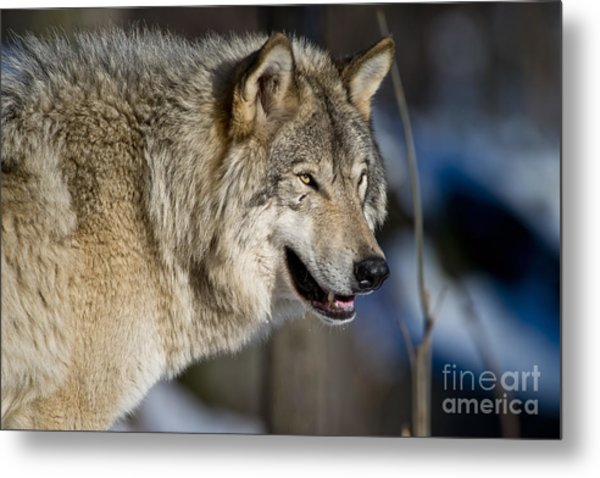 Timber Wolf Pictures Metal Print
