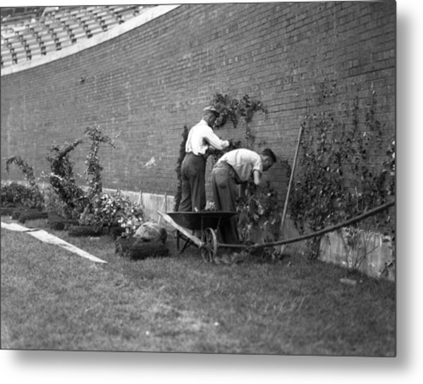 1937 Planting Of The Ivy At Wrigley Field Metal Print