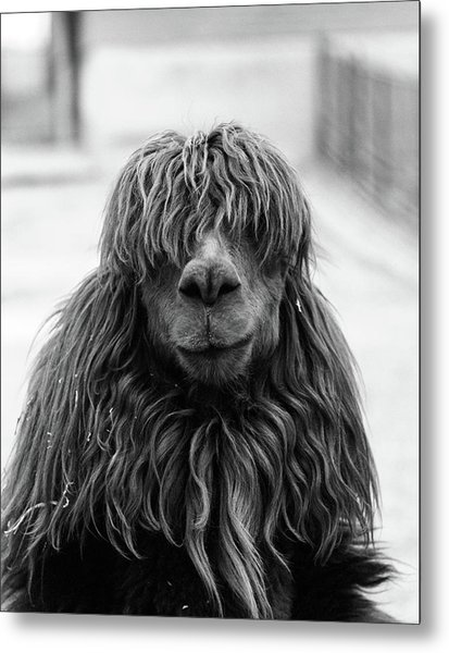 1960s Close-up Of Alpaca Vicugna Pacos Metal Print