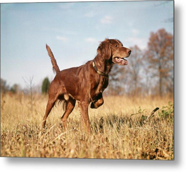 1960s Irish Setter Hunting Dog On Point Metal Print