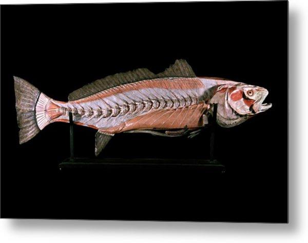 19th Century Anatomical Model Of A Salmon Metal Print