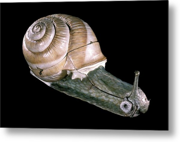 19th Century Anatomical Model Of A Snail Metal Print